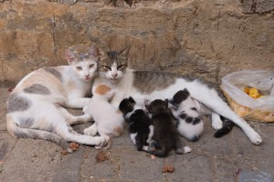 Related female feral cats often rear their young together. photo: http://operationsnipfl.org